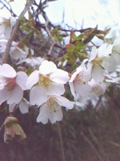 sakura_20090322233244.jpg